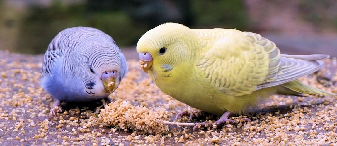 Волнистые попугаи: уход и содержание в домашних условиях,фото