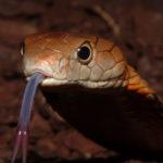 Королевская змея:описание,размножение,фото,яд,поведение