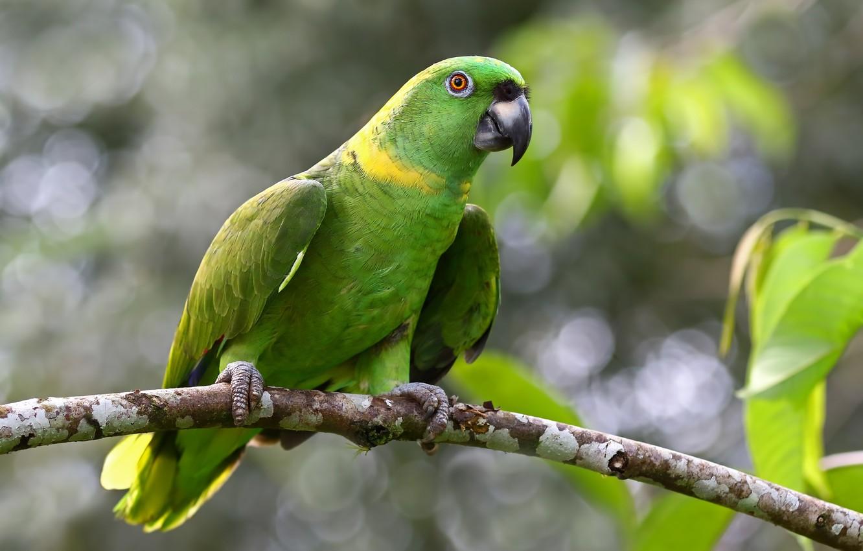 Попугай амазон: описание,фото,уход,содержание,образ жизни