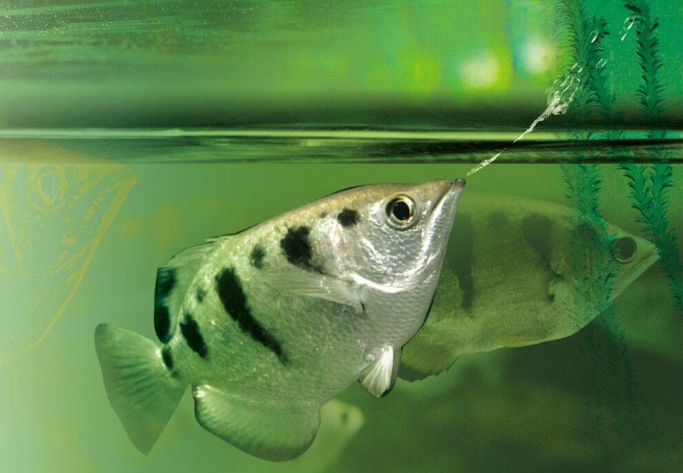 Рыба-брызгун:описание,содержание,разведение,фото,видео