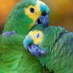 Синелобый амазон:описание,содержание,фото,размножение