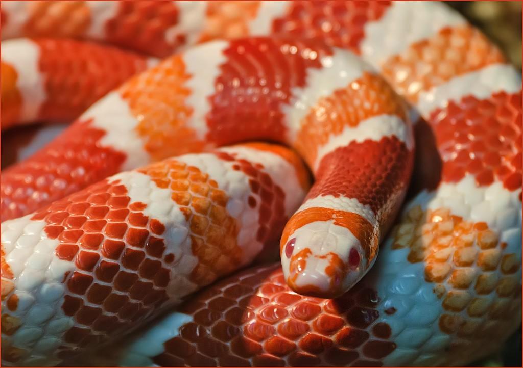 Молочная змея: описание,уход,размножение,фото,виды