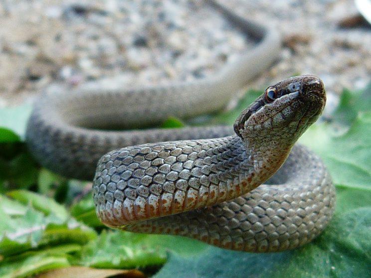 ядовитые змеи тульской области фото с названиями нас