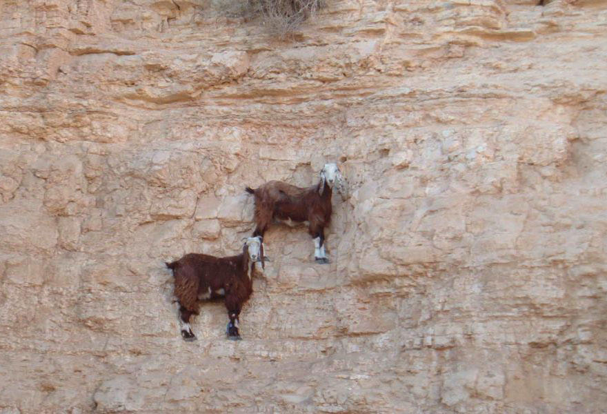 Горные козлы на отвесных горных утесах