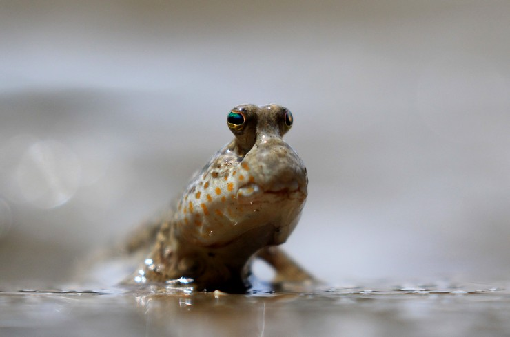 Илистый прыгун: описание,уход и содержание в аквариуме,фото