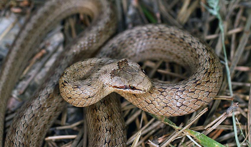 произошло мма, змея медянка фотографии подходит для прослушивания