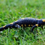 Саламандра: описание,уход в домашних условиях,фото