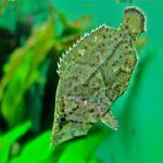 Рыба-лист: описание,уход и содержание в аквариуме,фото,размножение