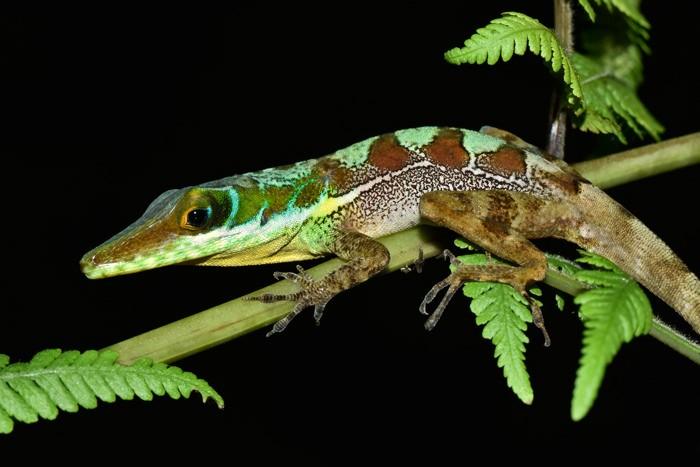 Содержание зеленой игуаны