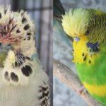 Болезни волнистых попугайчиков: фото,описание