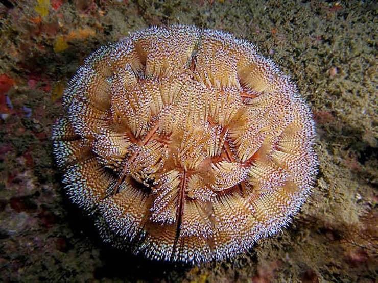 Морской еж: виды,враги,яд,места обитания,фото,размножение