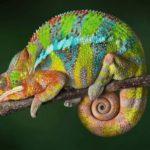 Хамелеон: образ жизни,среда обитания,фото,виды,размножение,охота