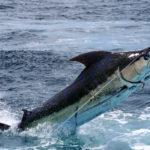 Меч — рыба: описание,питание,образ жизни,поведение,фото