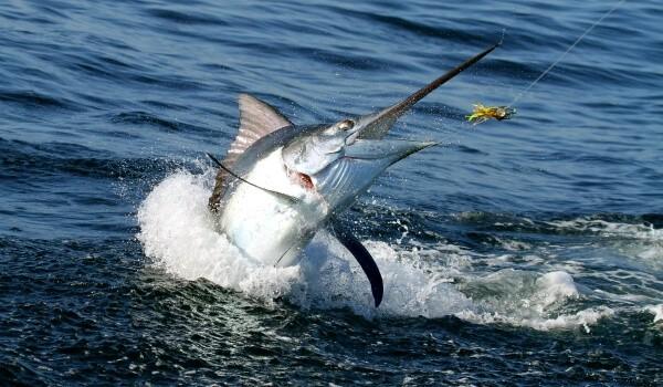 Рыба меч: фото, описание, распространение и размножение