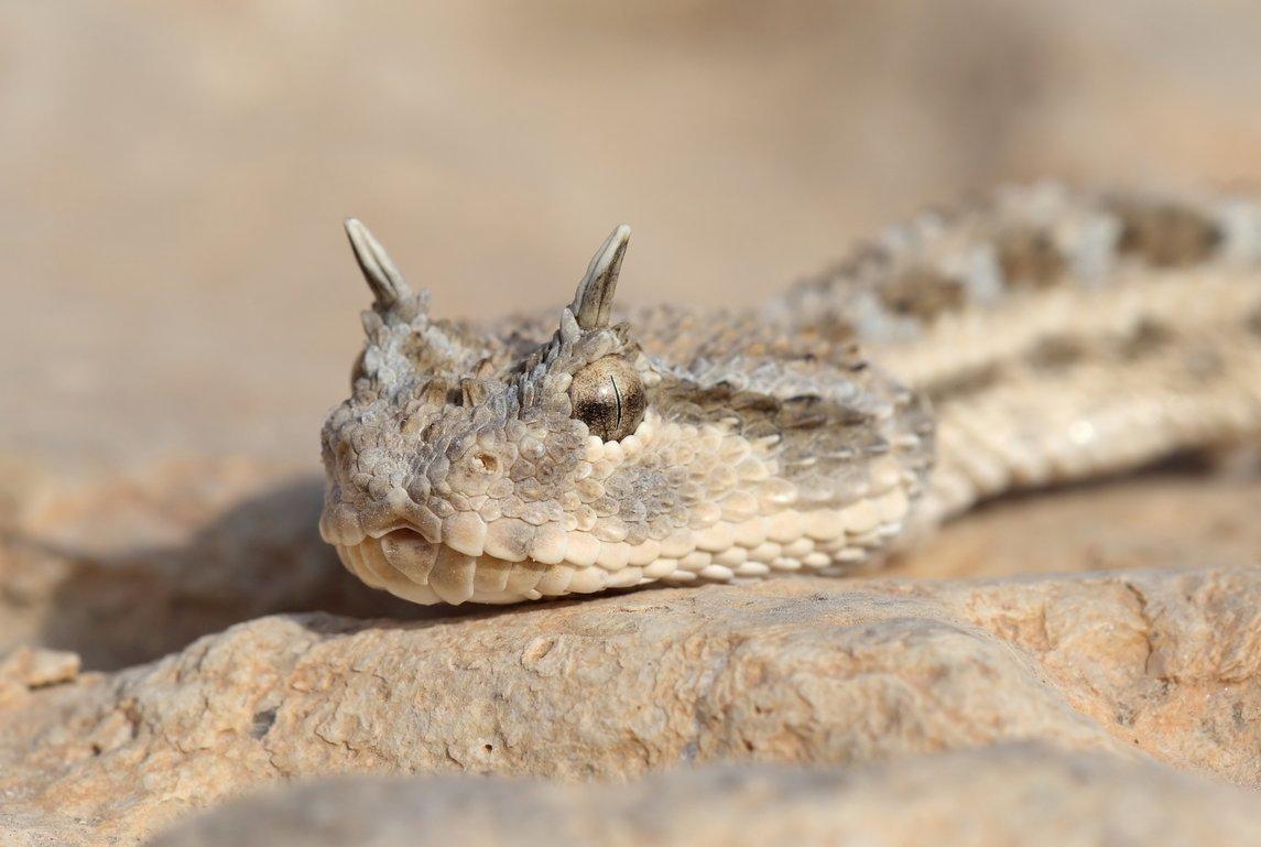 Самые ядовитые змеи в России: описание,фото