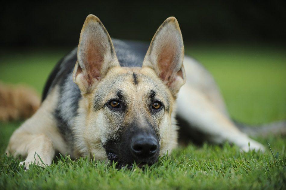 Артроз у собаки или дегенерация суставов