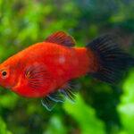 Пецилия редиска: содержание в аквариуме,фото
