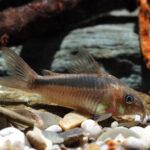 Коридорас рабаути: содержание в аквариуме,фото
