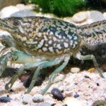 Мраморный рак: описание,содержание в аквариуме,фото,разведение