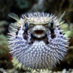 Рыба фугу: описание,фото,ядовита или нет,содержание в аквариуме