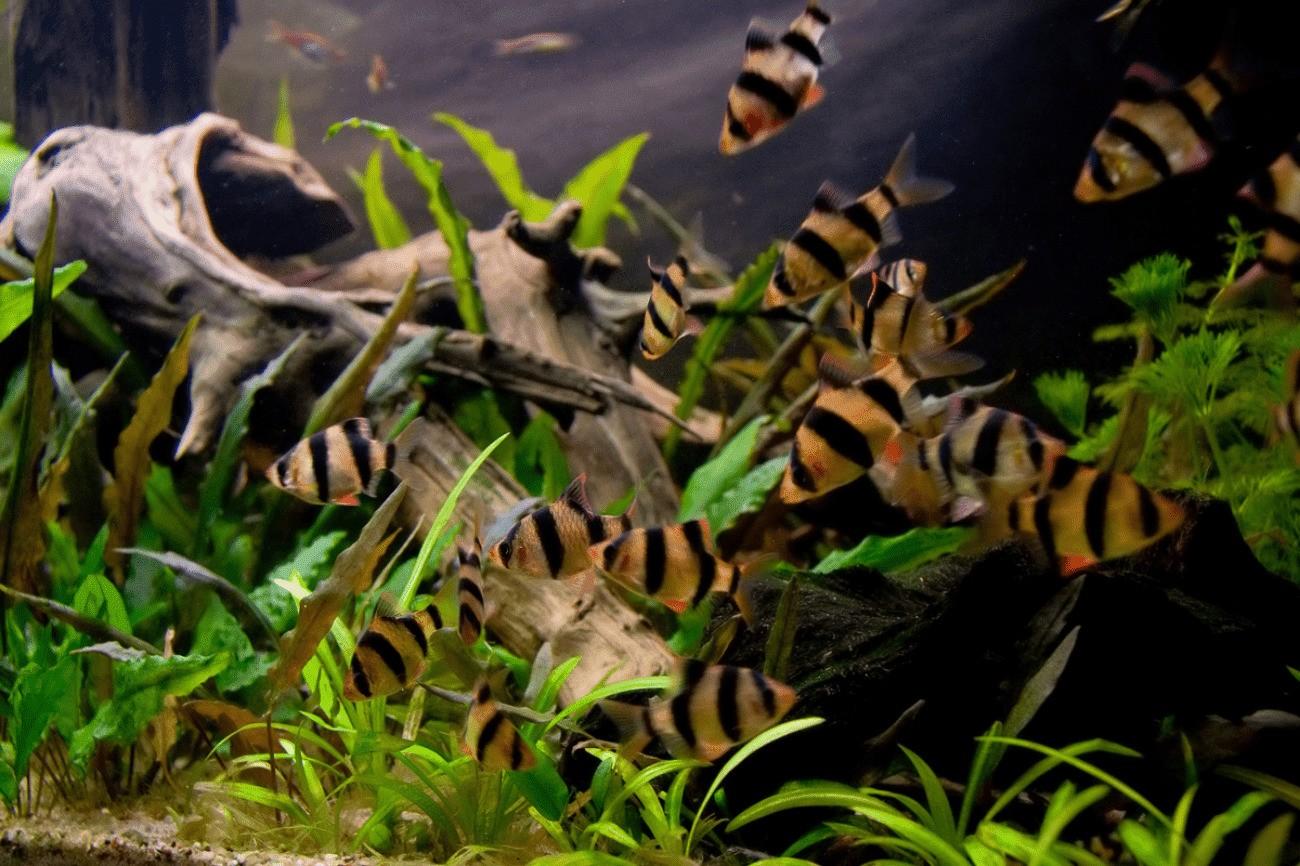 Совместимость барбусов с другими рыбками в аквариуме