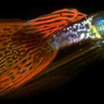 Совместимость гуппи с другими аквариумными рыбками