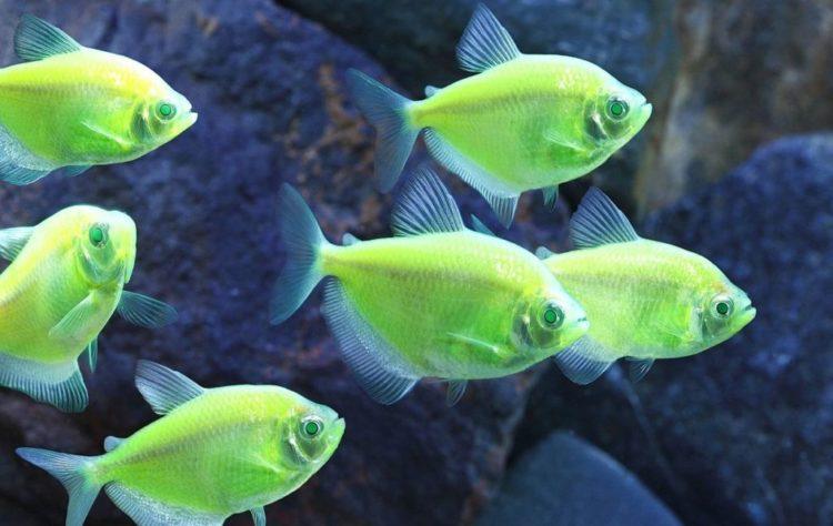 Тернеция карамелька: уход и содержание в аквариуме,фото