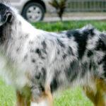 Австралийская пастушья собака или австралийский хилер содержание в домашних условиях