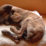 Как лечить чумку у собак в домашних условиях