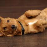 Вздутие живота у собаки: описание,лечение,причины