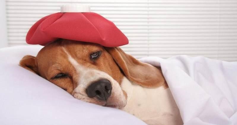 Мочекаменная болезнь у собак — уролитиаз:лечение,симптомы