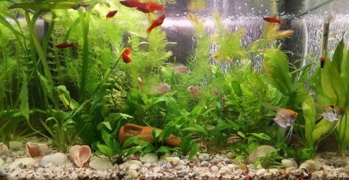 Совместимость скалярий с другими аквариумными рыбками