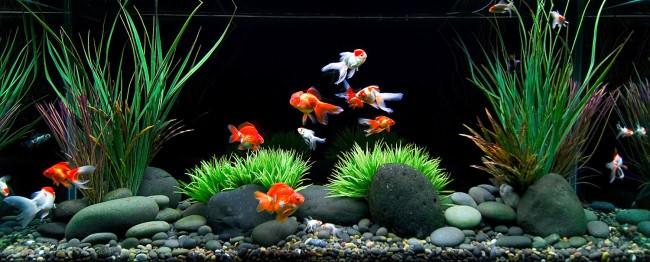 Совместимость золотых рыбок с другими аквариумными рыбками