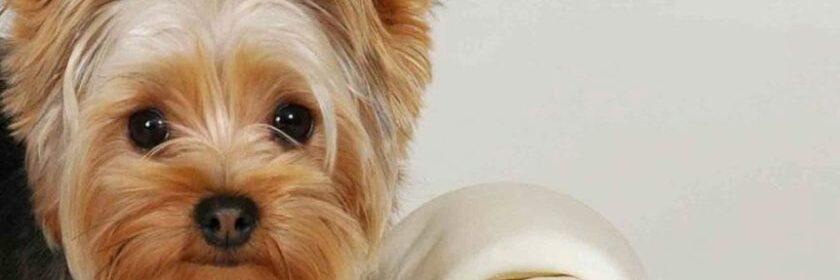 Окрас щенка | Йоркширский терьер - все о йоркширах, биверах, щенки, йорки и  полезная информация | 280x840