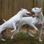 Как собаки лают на иностранных языках?