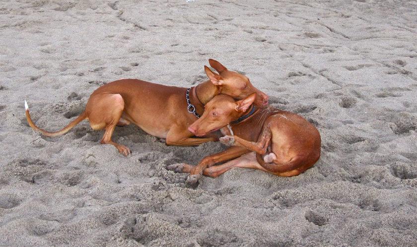 Фараонова собака — поджарая, мускулистая, грациозная, быстрая и ловкая
