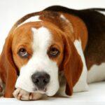 Собачья речь — как понять, что собака говорит нам?