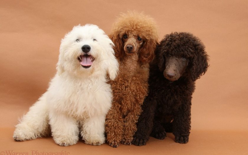 Пудель — одна из самых сообразительных и умных пород собак
