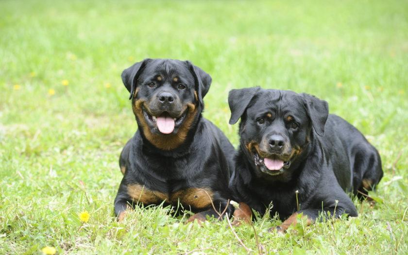 Ротвейлер — отважная и сильная собака
