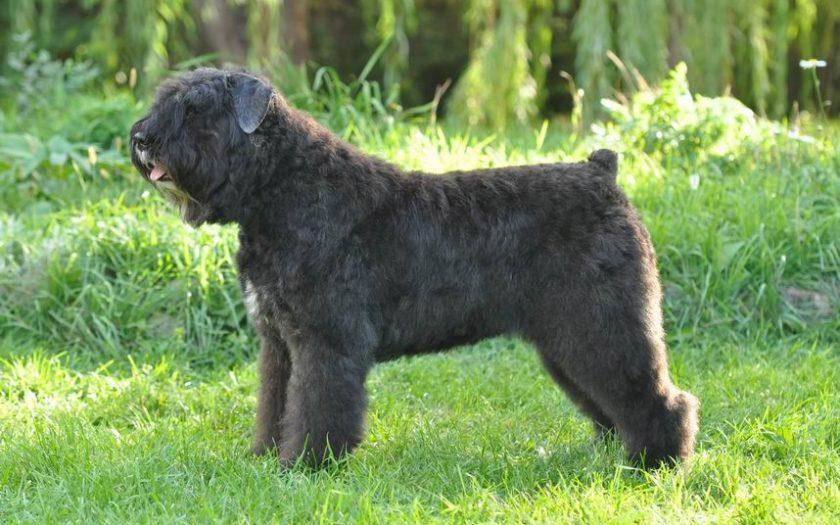 Фландрский бувье (фр. Bouvier des Flandres бувье де фландр) — пастушья собака из Фландрии