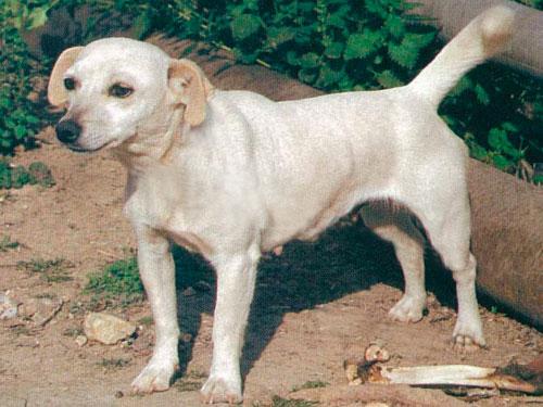 История происхождения собак породы Алопекис