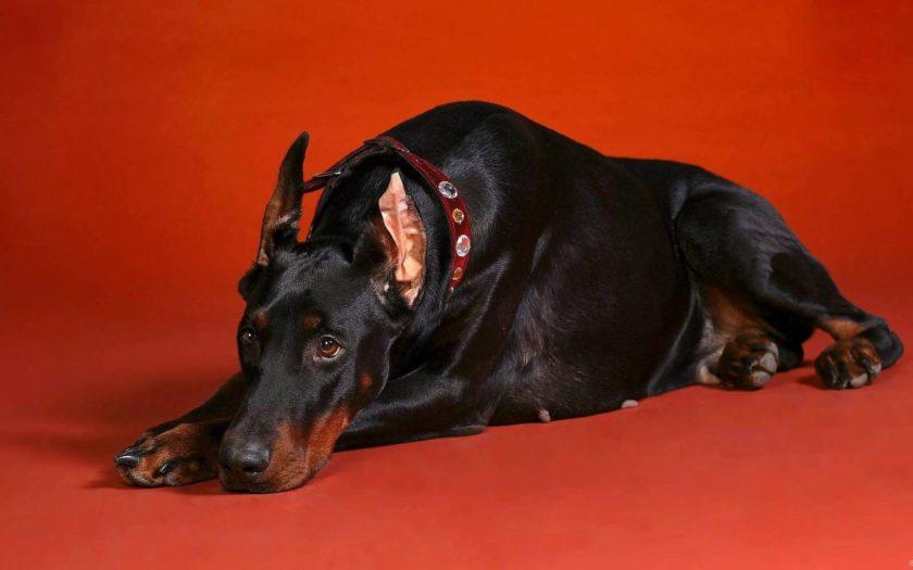 Доберман — умное и безгранично преданное своему хозяину животное