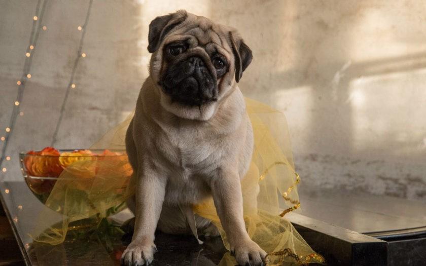 Мопс: история породы и характер собаки