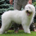 Южнорусская овчарка – незаслуженно забытая жемчужина отечественного собаководства