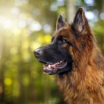Немецкая овчарка — история породы и характер