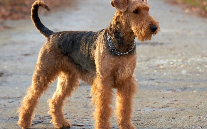 Эрдельтерьер – крепкая и мускулистая собака среднего размера со столетним легендарным прошлым