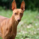 Чирнеко дель Этна: чем же знамениты эти собачки и что следует знать будущим владельцев подобного чуда?
