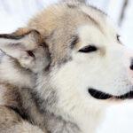 Лайка: история возникновения и характер собаки