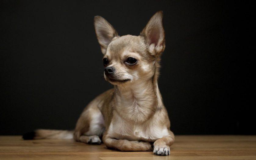 Чихуахуа: маленькая и красивая собачка