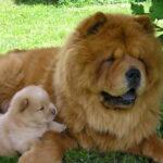 Чау-чау (англ. chow-chow, китайс. 松狮犬) одна из старейших в мире пород